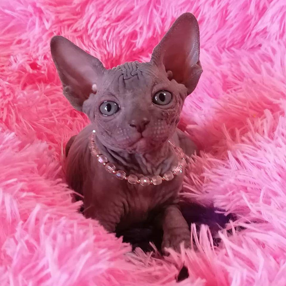 sphynx_for_sale